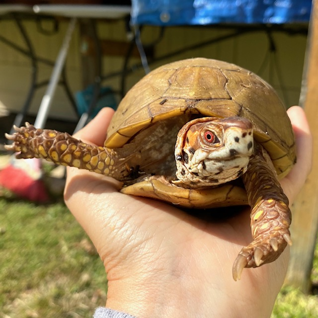 pet box turtle stretching
