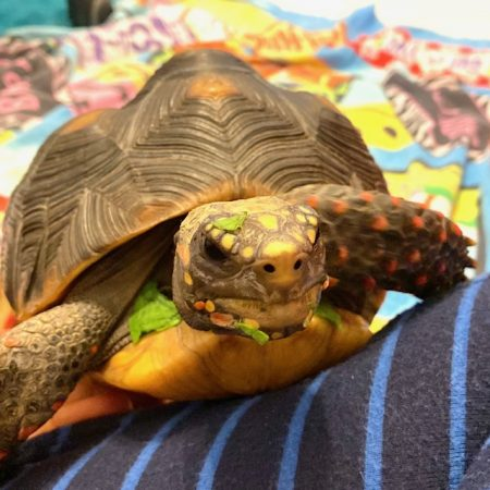 redfoot tortoise wearing her green snacks