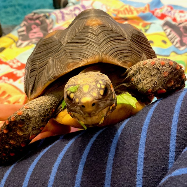redfoot tortoise eating greens