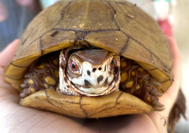 box turtle coming out of hibernation
