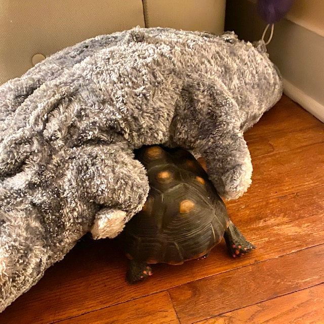 Redfoot tortoise with toy