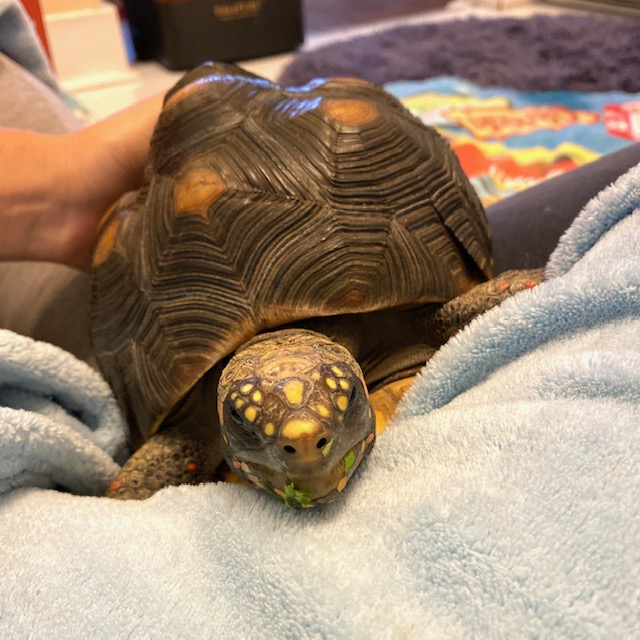 pet redfoot tortoise