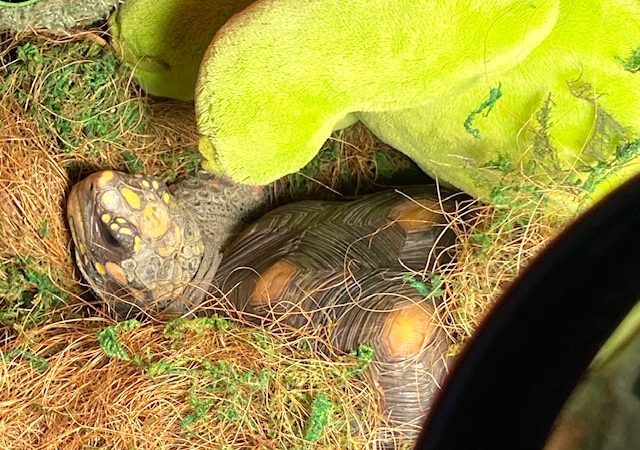 redfoot tortoise napping