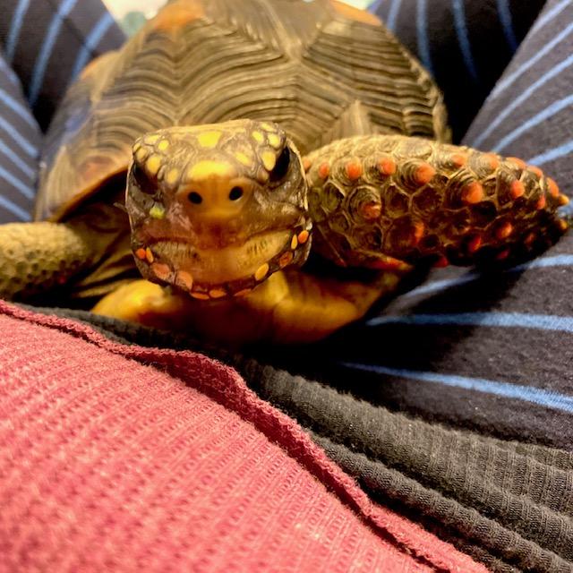 redfoot tortoise nose nostrils