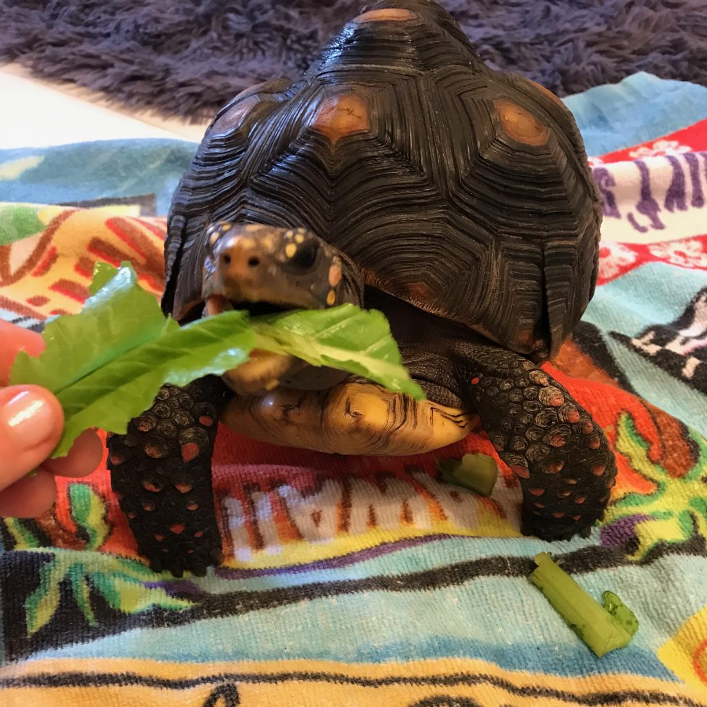 redfoot tortoise eating lettuce