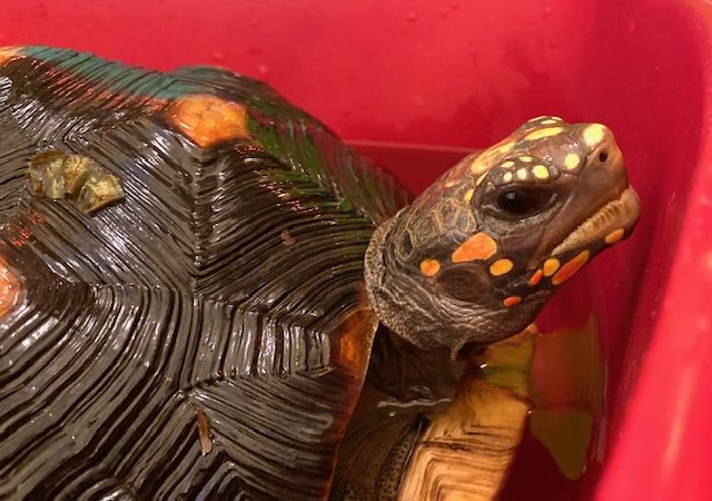 redfoot tortoise in bath