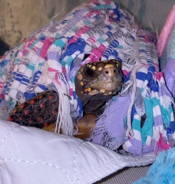redfoot tortoise under blanket