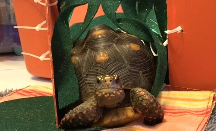 redfoot tortoise walks out tortoise door