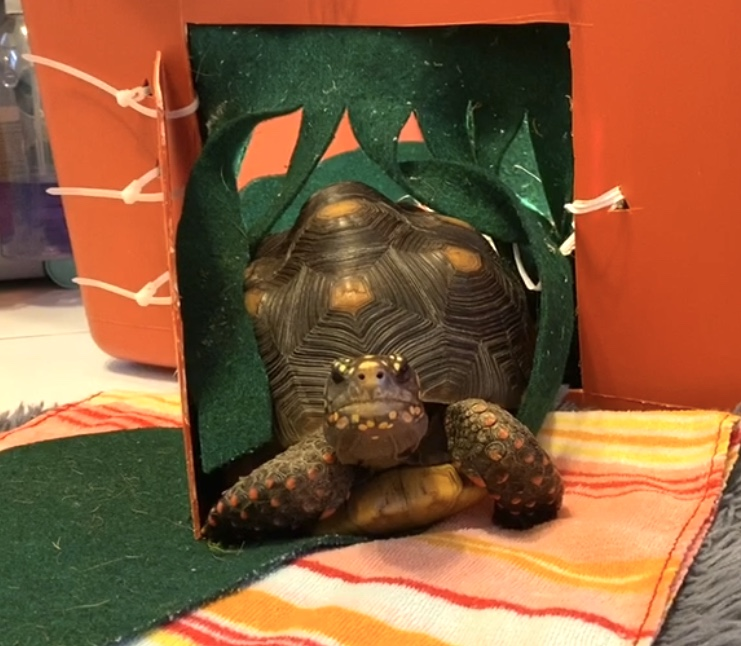 redfoot tortoise walks out tortoise door