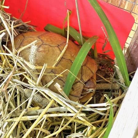 box turtle hibernating
