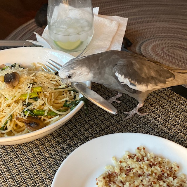 Cockatiel eats pasta from plate