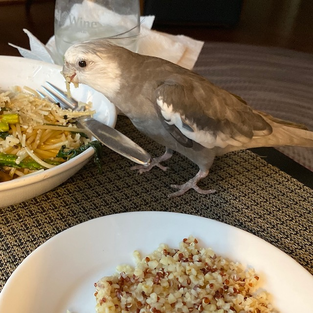 Cockatiel eats plate of pasta
