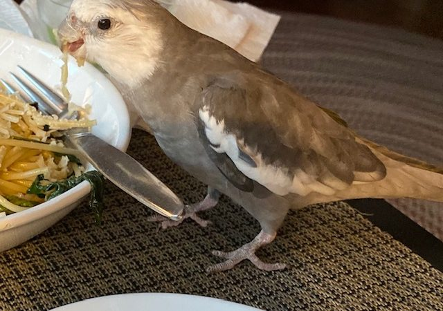 Cockatiel eats big plate of pasta