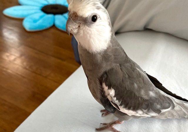 whiteface cockatiel crest