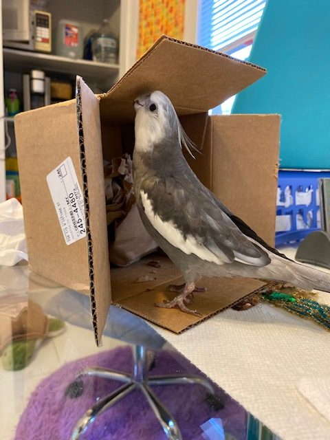 cockatiel plays with cardboard box