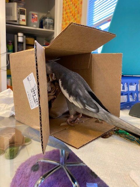 cockatiel brown nesting box