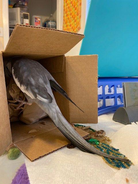cockatiel climbs into box