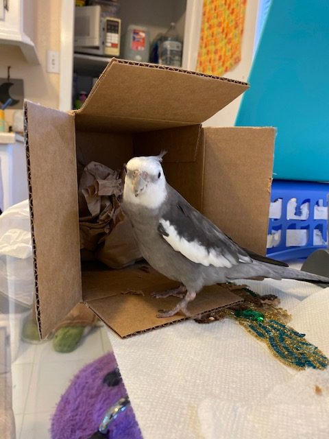 cockatiel stands by cardboard box