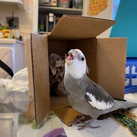 cockatiel with cardboard box