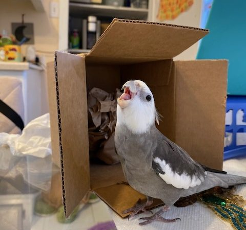cockatiel with cardboard box