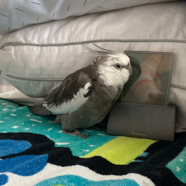 cockatiel with clock