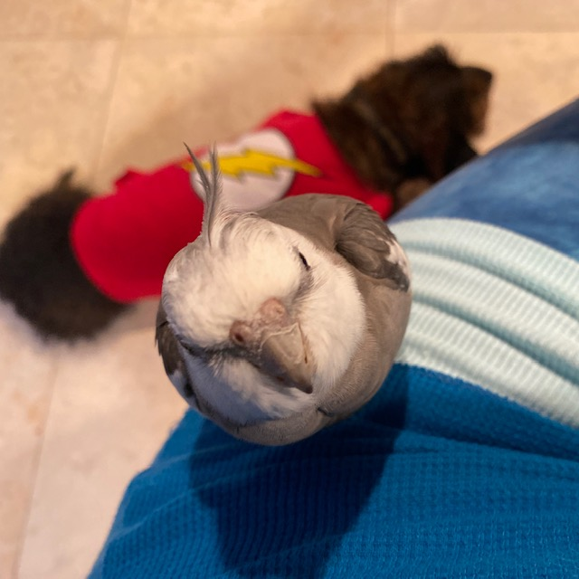 cockatiel and dachshund