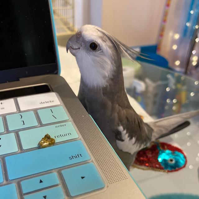 cockatiel poop laptop