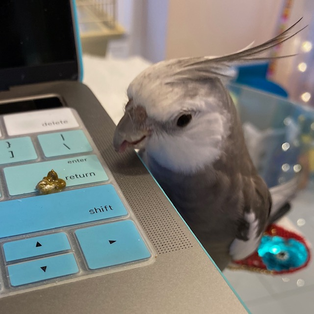 cockatiel stares at laptop keyboard
