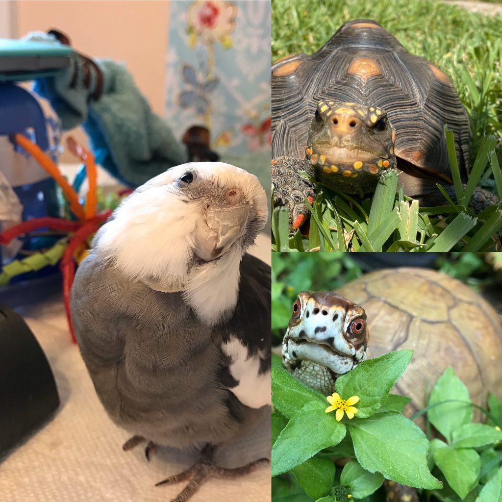 cockatiel, redfoot tortoise, box turtle