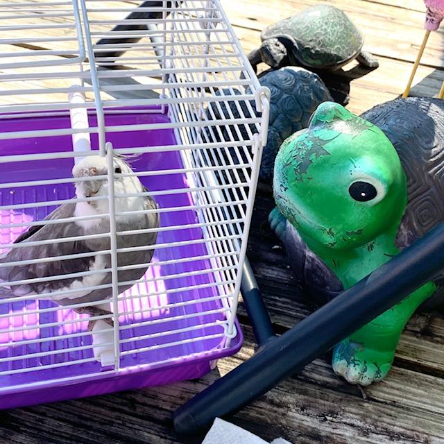 cockatiel with turtles