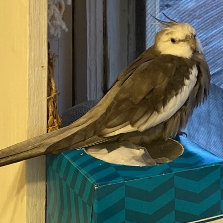 cockatiel perched on windowsill