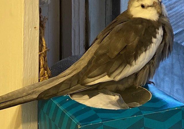 cockatiel perched on windowsill