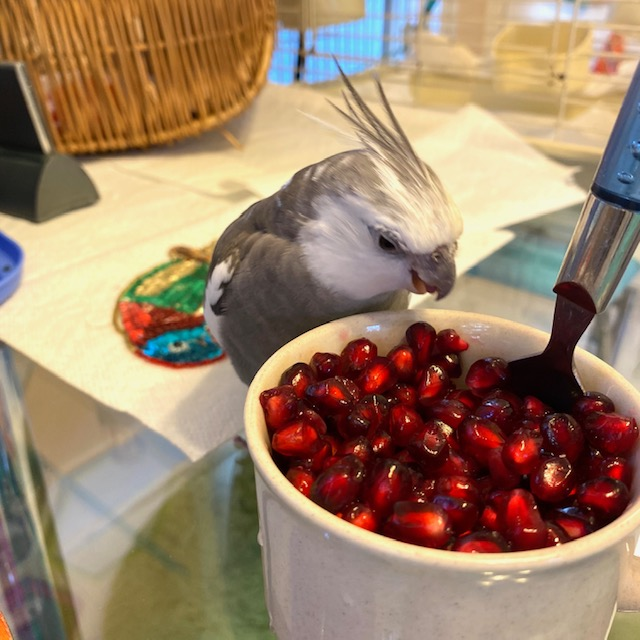 cockatiel with pomegranate seeds
