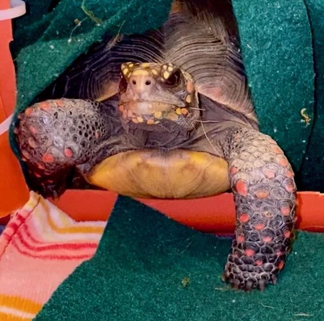 pet redfoot tortoise habitat door