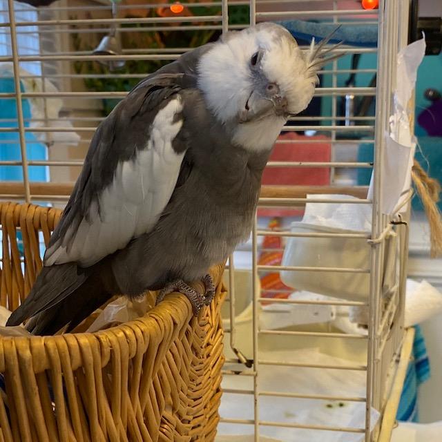 Cockatiel poses on wicker basket