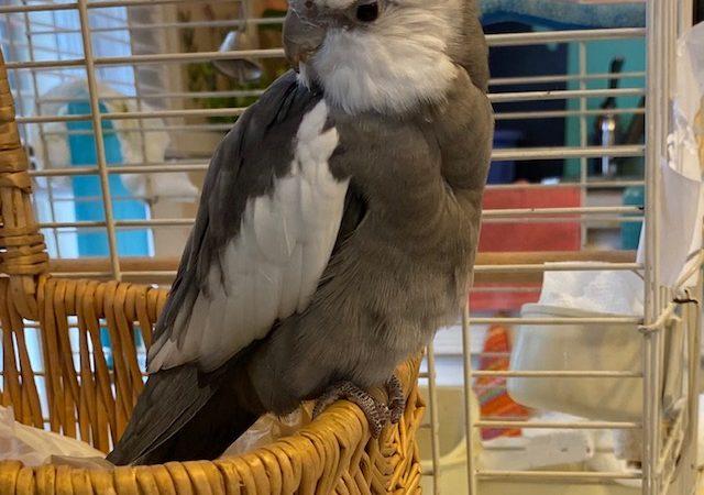 Cockatiel perches on basket of wicker