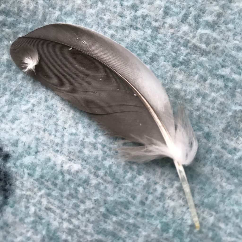 cockatiel feather
