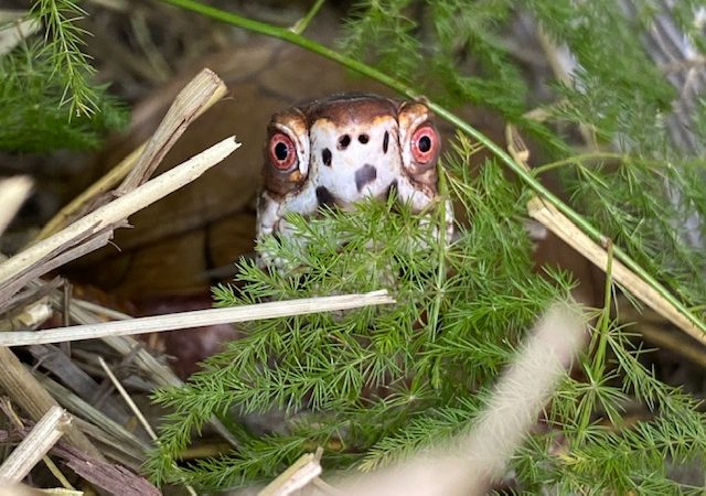 box turtle stares out from forest
