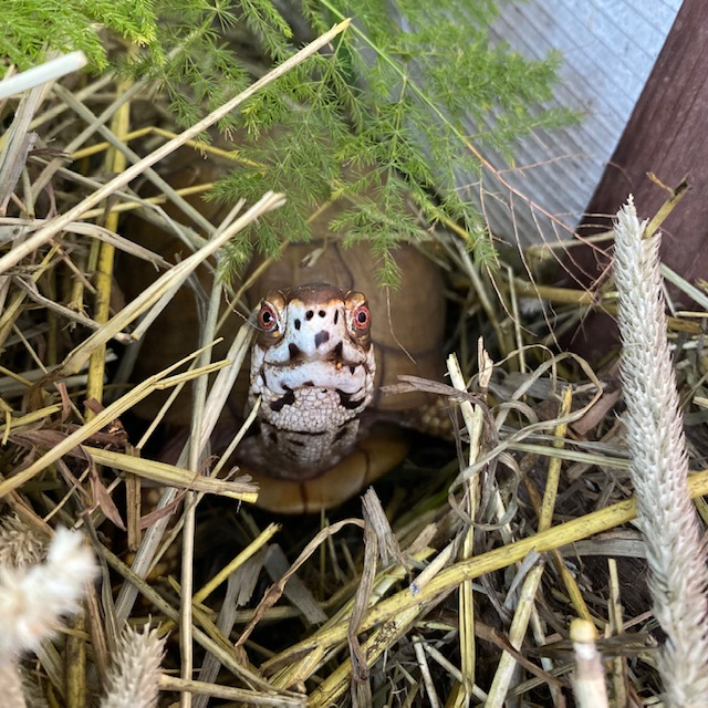 box turtle in hay stack