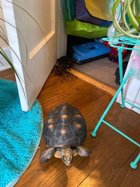 tortoise knocks over houseplant