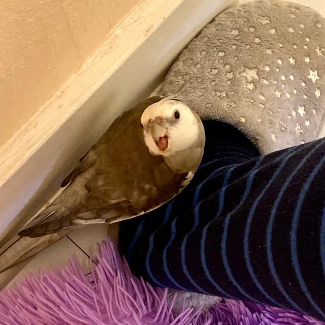 cockatiel sits on slipper