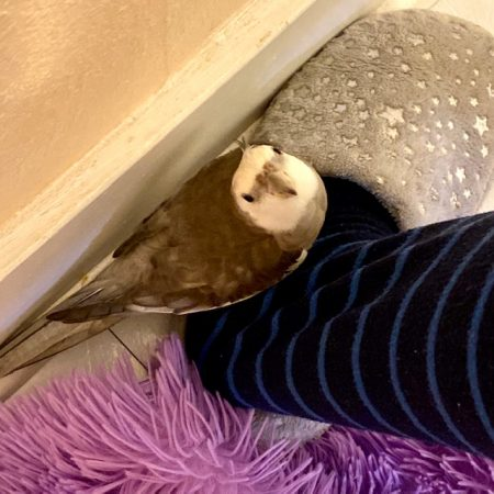 cockatiel sits on mom's foot
