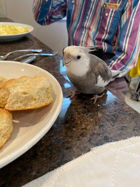 cockatiel with biscuit