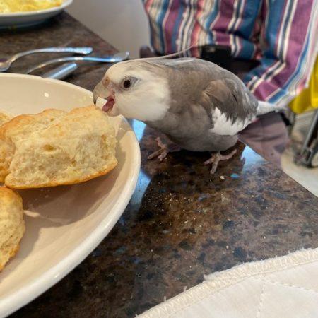 cockatiel crunches biscuit