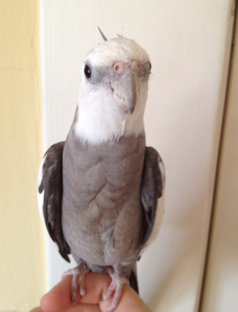grey and white cockatiel