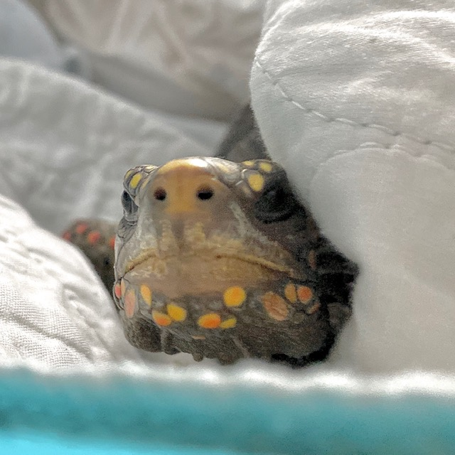 redfoot tortoise face