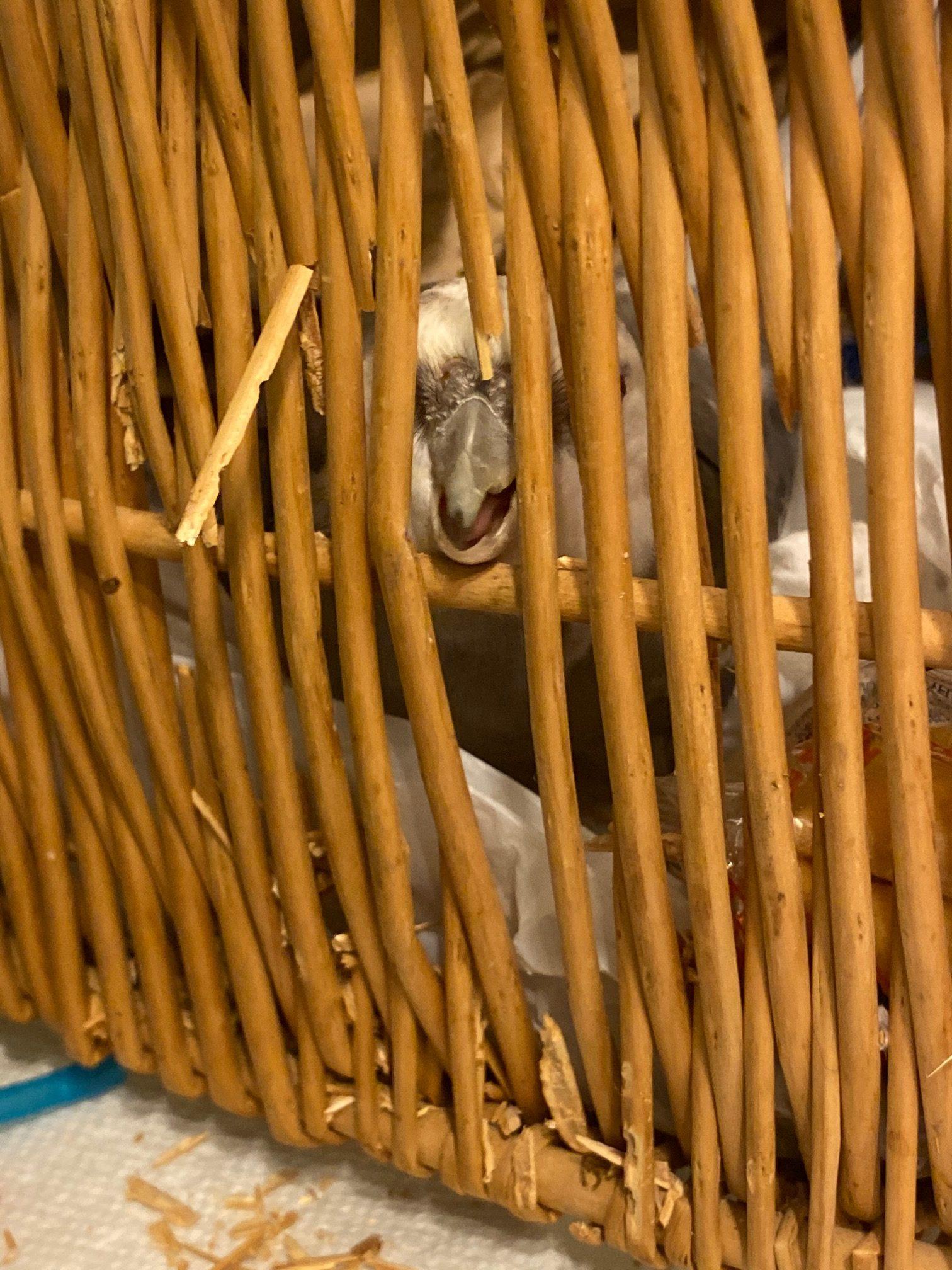 cockatiel nests in wicker basket