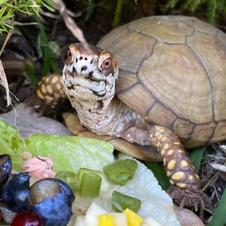 rescued box turtle with food