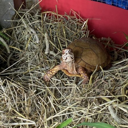 texas box turtle in hibernaculum