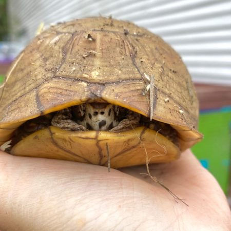 box turtle peeks out from shell